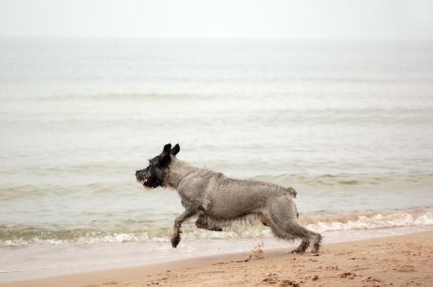 Corredor do cão