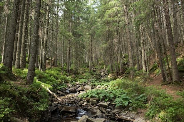 Córrego da montanha na floresta de abetos verdes. horário de verão