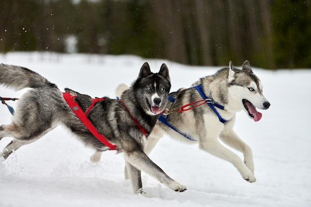 Correndo cães husky em corridas de cães de trenó