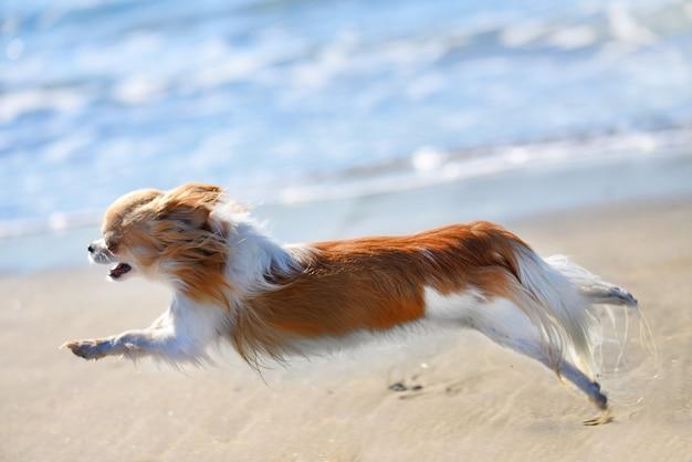 Correndo chihuahua na praia