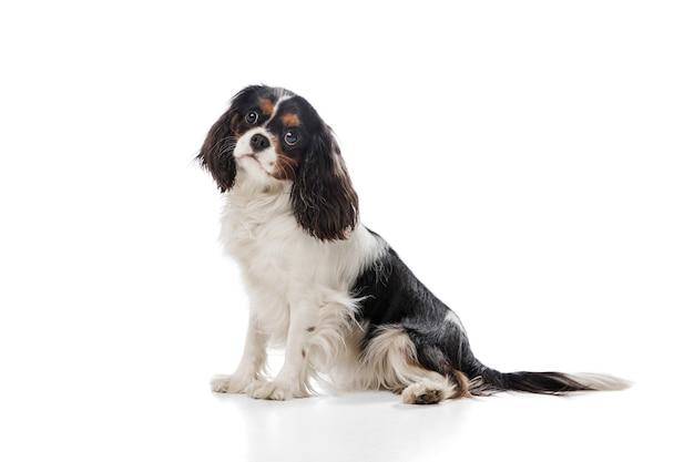 Correndo. filhote de cachorro fofo e doce de king charles spaniel cão fofo ou animal de estimação posando com uma bola em branco