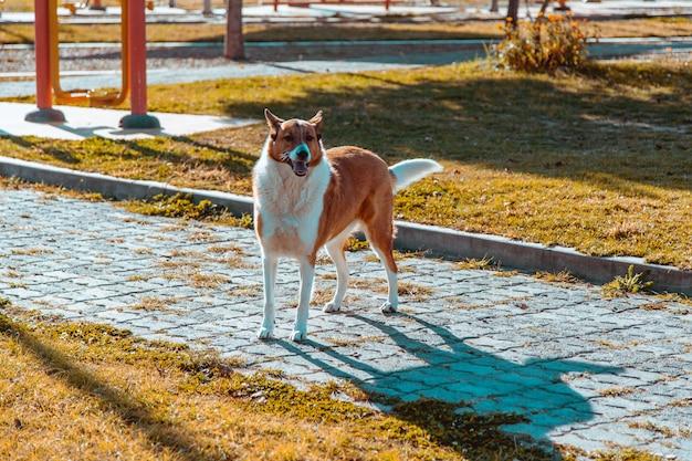 Corrida de cachorro collie