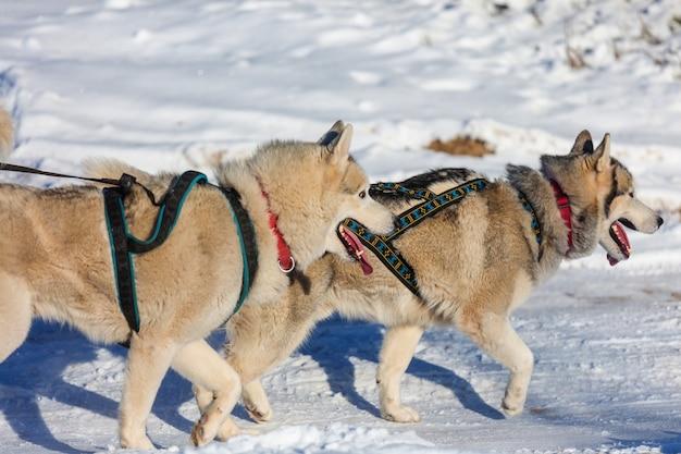 Corrida de cães de trenó de inverno na floresta