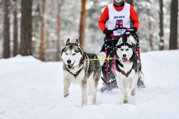 Corrida de cães de trenó husky siberiano