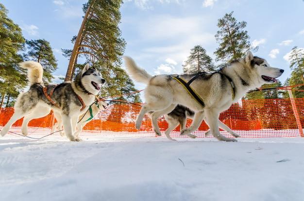 Corrida de cães de trenó