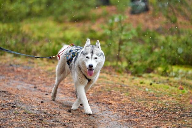 Corrida de trenó de cães de trenó de terras áridas através dos campos