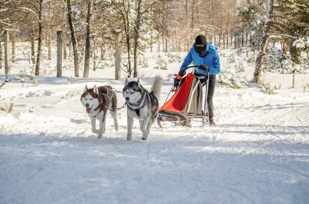 Corrida de trenós puxados por cães. equipe de cão de trenó musher e husky de homem