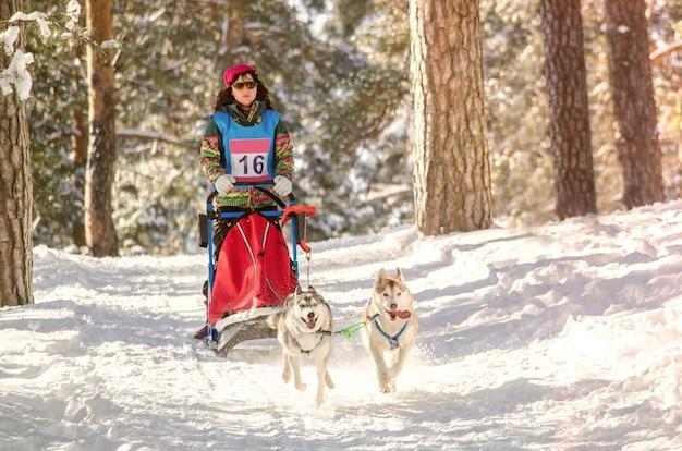 Corrida de trenós puxados por cães. mulher, musher, e, husky, equipe trenó cão