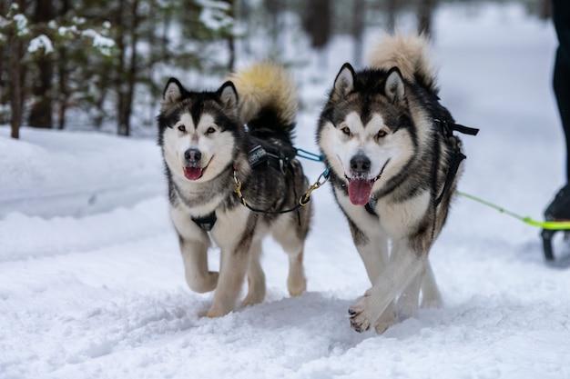 Corridas de cães de trenó. a equipe de cães de trenó ronca no chicote de fios corre e puxa o motorista do cão. competição de campeonato de esporte de inverno.