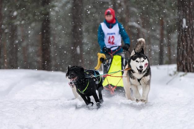Corridas de cães de trenó. a equipe de cães de trenó ronca puxa um trenó com um trenó de cachorro. competição de inverno.