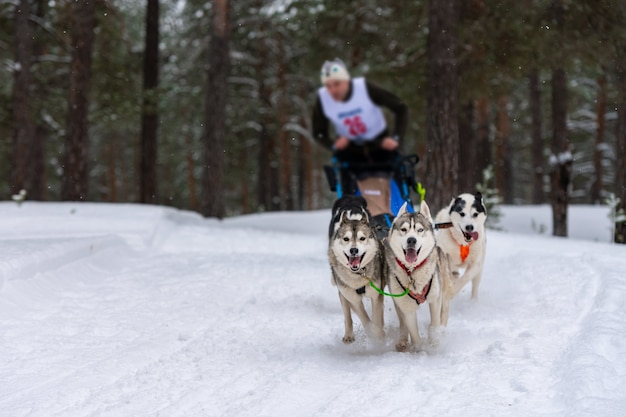 Corridas de cães de trenó. a equipe de cães de trenó ronca puxa um trenó com uma trena de cachorro. competição de inverno.
