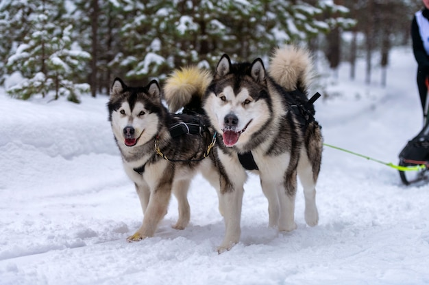 Corridas de cães de trenó. cães de trenó husky se unem em corrida de arreios e puxam o motorista do cão competição do campeonato de esporte de inverno.