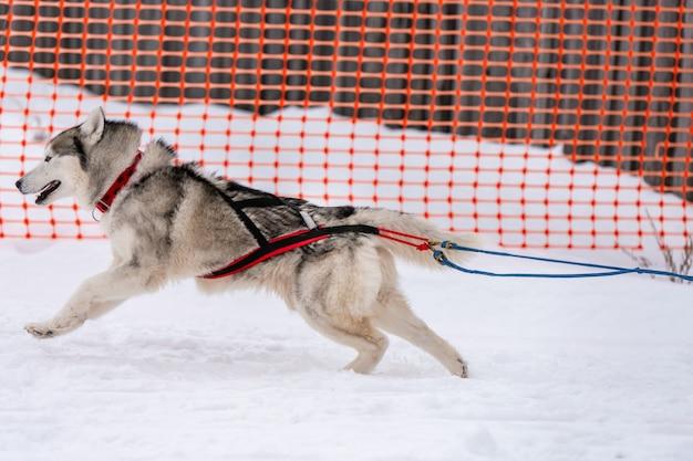 Corridas de cães de trenó. cães de trenó husky se unem em corrida de arreios e puxam o motorista do cão. competição do campeonato de esporte de inverno.
