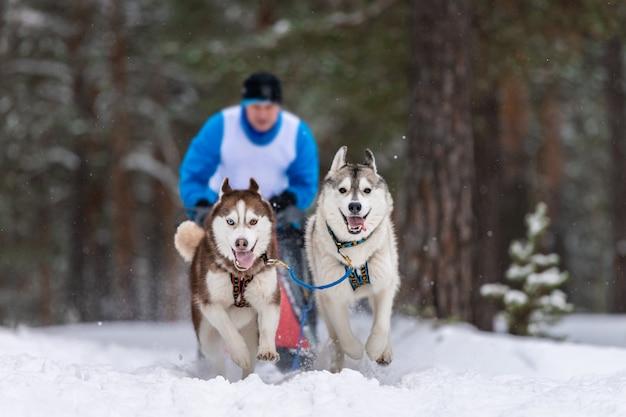 Corridas de cães de trenó. equipe de cães de trenó husky puxa um trenó com trenó de cães competição de inverno.