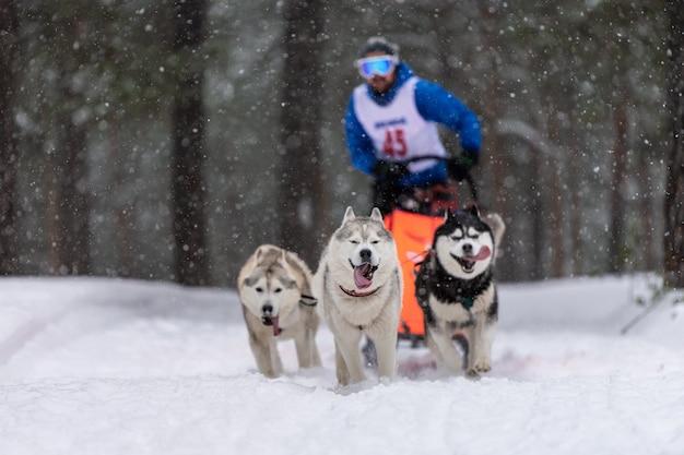 Corridas de cães de trenó. equipe de cães de trenó ronca puxar um trenó com motorista de cão. competição de inverno.