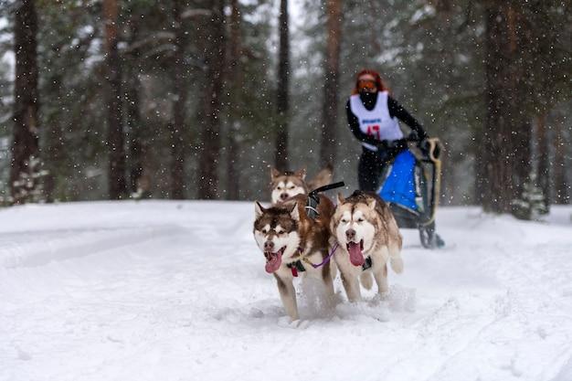Corridas de cães de trenó. equipe de cães de trenó ronca puxar um trenó com trenó de cachorro competição de inverno.