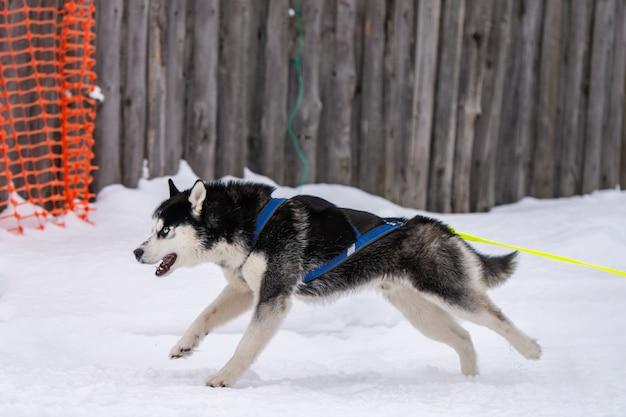 Corridas de cães de trenó. husky cães de trenó equipe no chicote de fios correr e puxar o motorista do cão competição de campeonato de esporte de inverno.