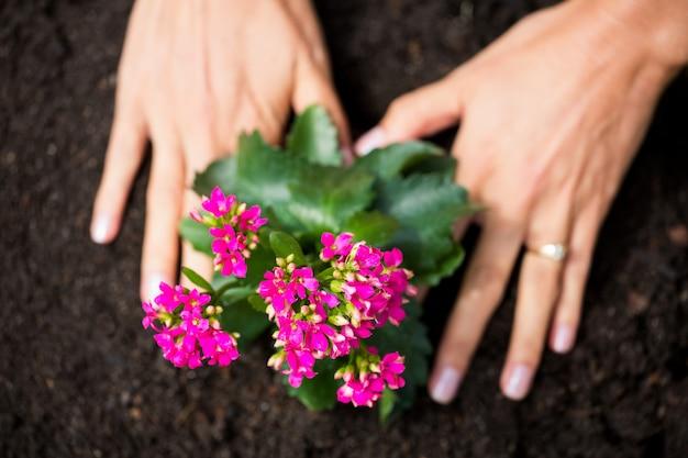 Cortadas as mãos da mulher plantando flores
