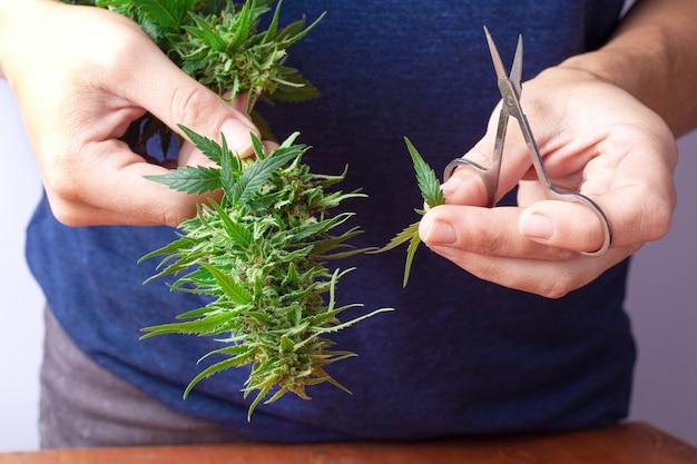Cortando folhas de botões de maconha