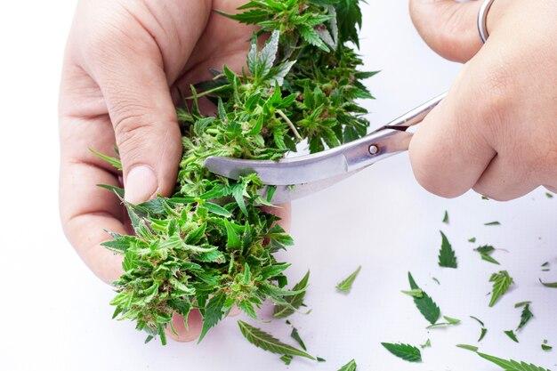 Cortando folhas de maconha com uma tesoura