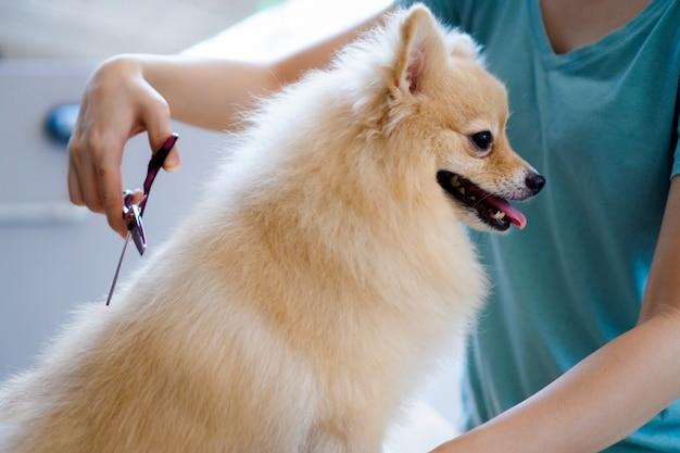 Cortar um pelo de cachorro uma raça de pomerânia ou cachorro pequeno com uma tesoura