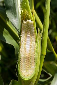 Corte com uma faca afiada ao longo das espigas de milho com folhagem verde
