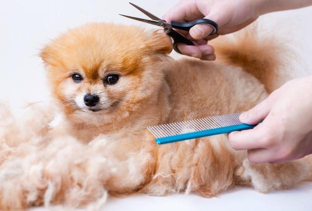 Corte de cabelo pomerânia fechar em torno de um monte de mãos de lã segurando uma tesoura e um pente.