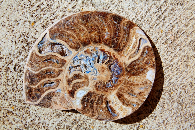 Corte de caramujos fósseis de amonitas encontrado em teruel