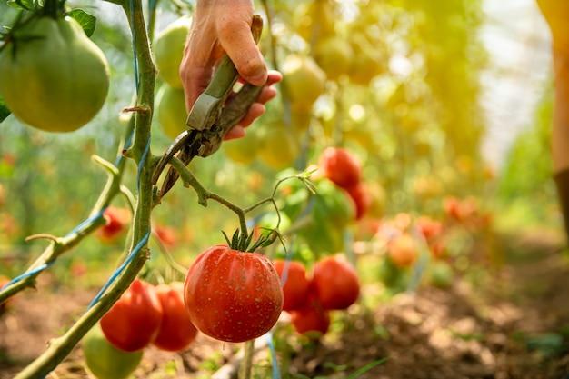 Corte de tomates maduros no caule com uma tesoura na estufa