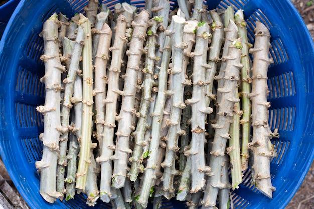 Corte do tronco da mandioca para plantio