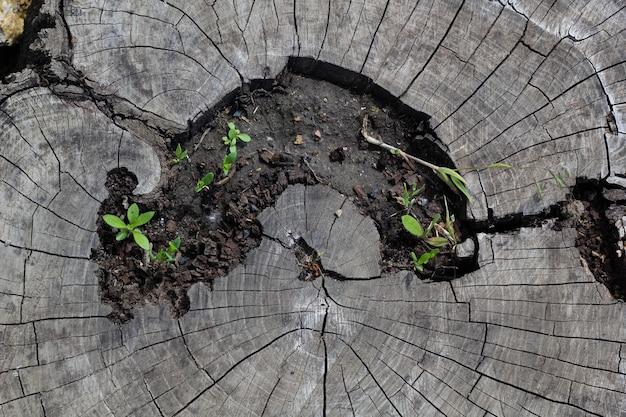 Corte transversal de uma velha madeira seca