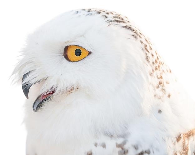 Coruja branca polar contra superfície branca isolada