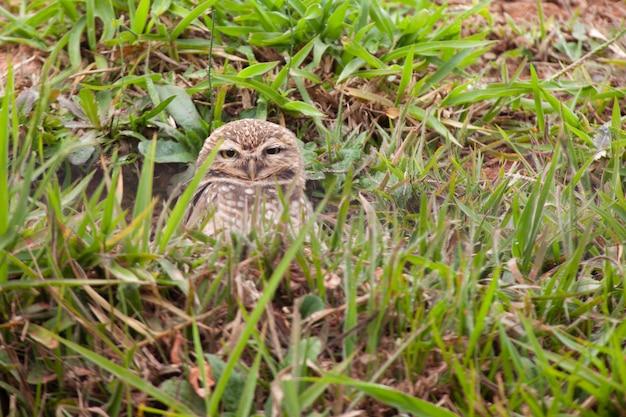Coruja-buraqueira no meio da grama