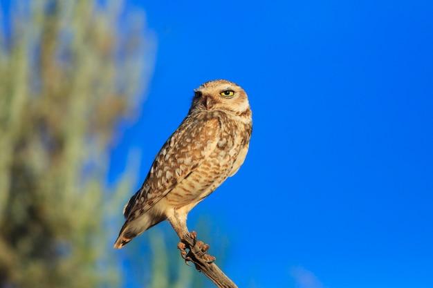 Coruja-buraqueira pássaro no deserto do arizona