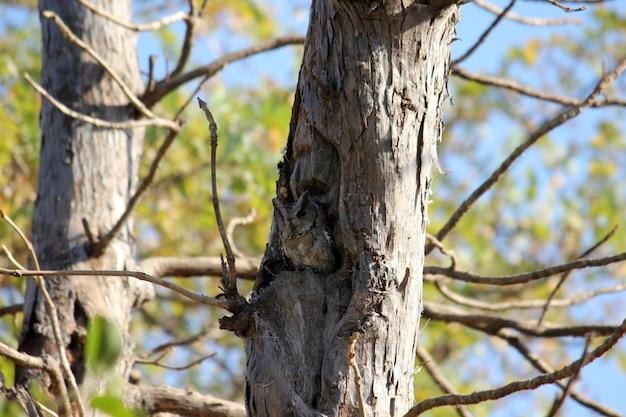 Coruja camuflada em um tronco de árvore