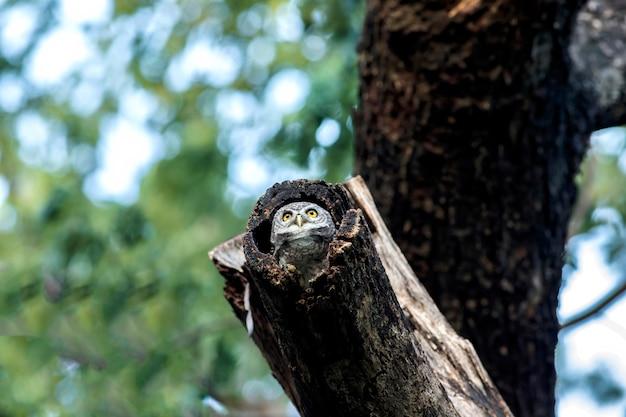Coruja, corujinha manchada na natureza