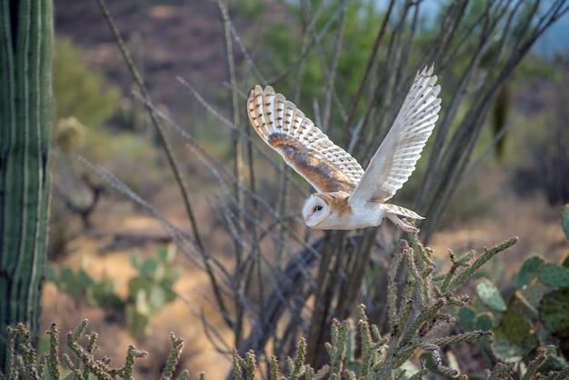 Coruja-das-torres em vôo no deserto do arizona