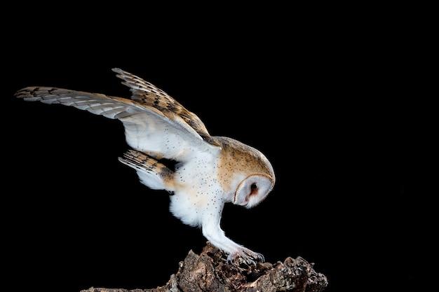 Coruja-das-torres empoleirada à noite em um tronco