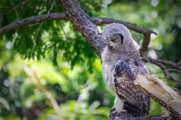 Coruja de águia manchada, sentado em um galho de árvore na cidade do cabo, áfrica do sul