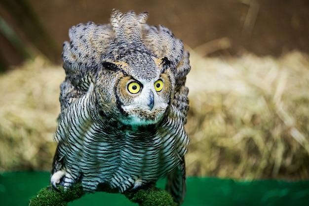 Coruja de águia / uma coruja de águia