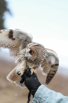 Coruja-longa-orelhuda processada em campo para voar e caçar