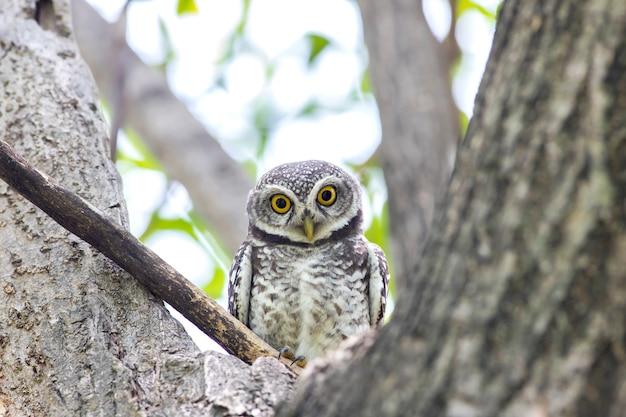 Coruja, manchado, owlet, (athene, brama), em, natureza