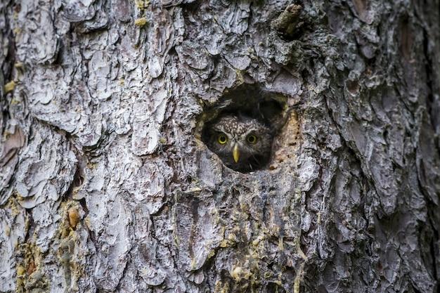 Coruja marrom e branca dentro de um buraco de árvore