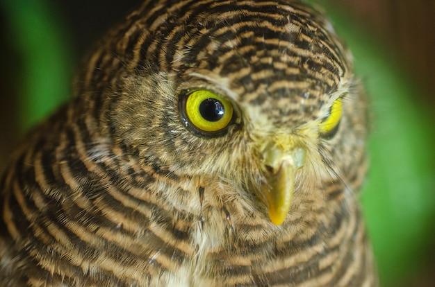Coruja olhando com olhos dourados