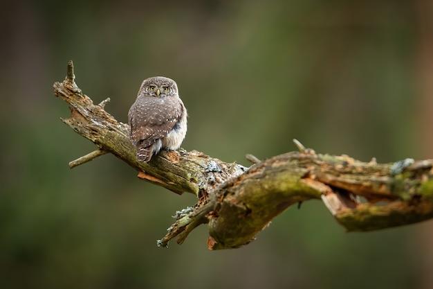 Coruja-pigmeu eurasiática sentada em uma velha árvore