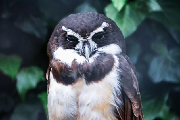 Coruja preto e branca com olhos sonolentos no fundo das árvores verdes.