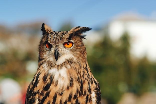 Coruja-real olhando para a frente. coruja-pequena sentado no galho do parque.