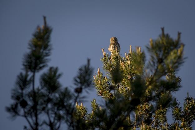 Coruja sentada no topo de um pinheiro