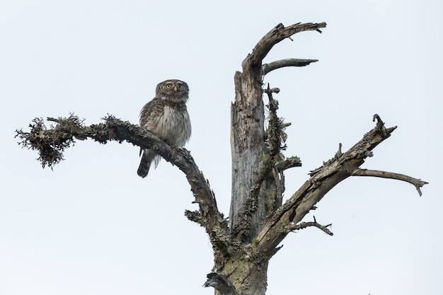 Coruja sentada no tronco de uma árvore olhando para a câmera