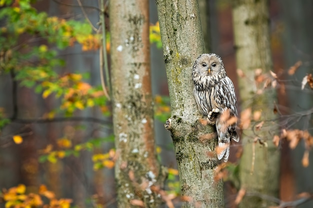 Coruja ural bonito sentado na árvore e se escondendo atrás de folhas na floresta outonal